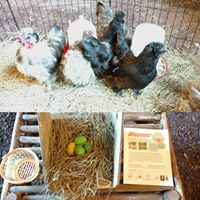 AGB live chickens